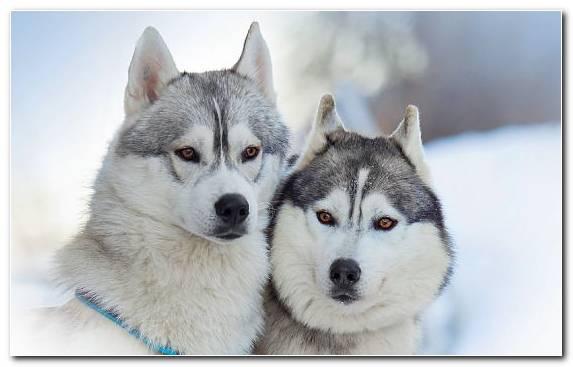 Image The Siberian Husky Puppy Breed Dog Like Mammal Dog