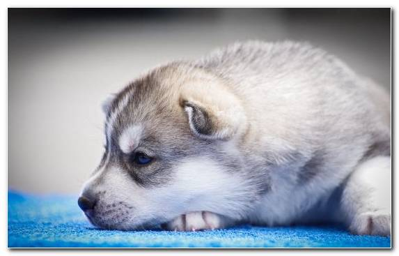 Image The Siberian Husky Sakhalin Husky Puppy Dog Like Mammal Dog Breed