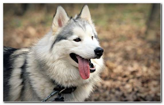 Image The Siberian Husky Sled Dog Sakhalin Husky Tamaskan Dog Mammal