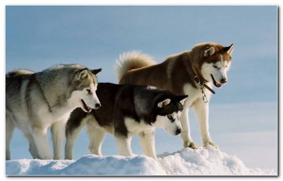 Image The Walt Disney Company Alaskan Malamute Disney Movies Dog Like Mammal Sled Dog Racing