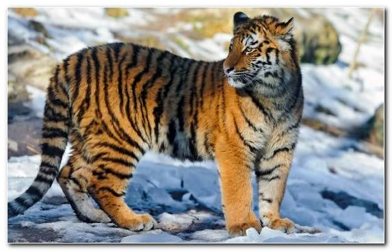 Image tiger fauna mammal terrestrial animal wildlife