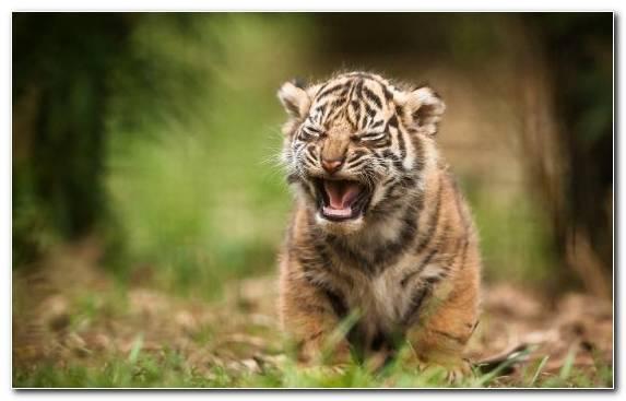 Image tiger fauna snout wilderness golden tiger