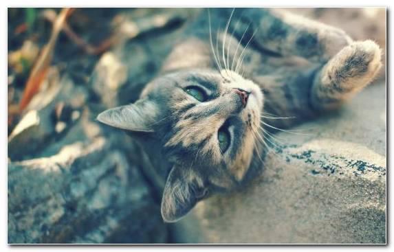 Image Tiger Snout Moustache Kitten Cat