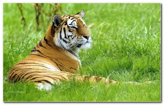 Image Tiger Terrestrial Animal Wildlife Bengal Tiger