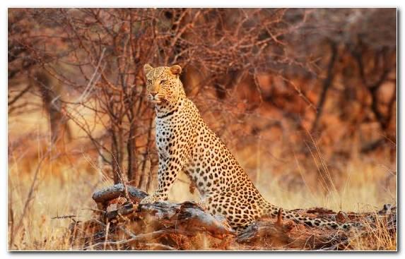 Image tiger wildcat terrestrial animal cat leopard cat