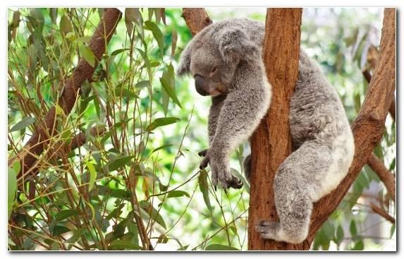 Image Tree Bear Koala Baby Koala Flora