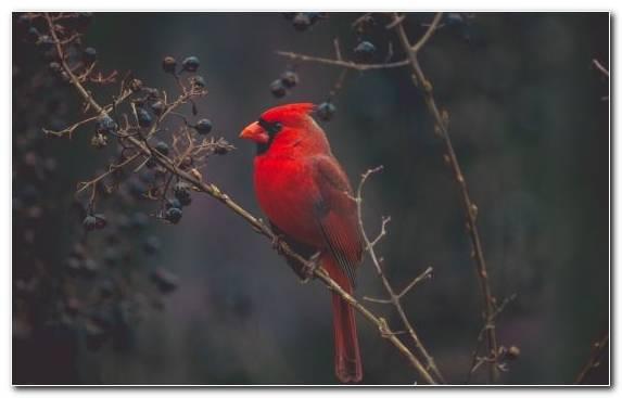 Image Tree Northern Cardinal Arizona Cardinals Red Wildlife