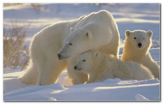 Image Tundra Arctic Wildlife Snow Arctic Ocean