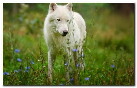 Image Tundra Arctic Wolf Wildlife Fauna Snout