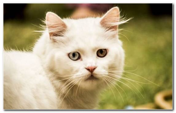Image Turkish Van Burmilla Cat Whiskers Small To Medium Sized Cats