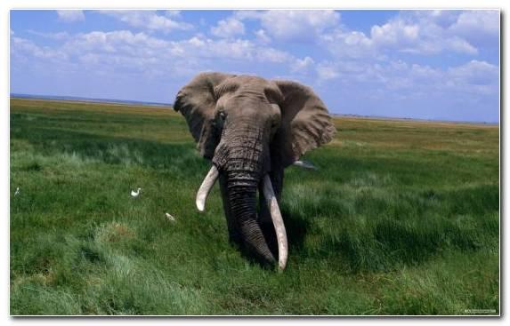 Image Tusk African Elephant Grazing Grassland Wildlife