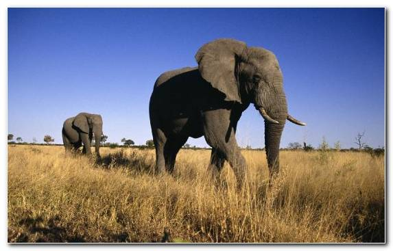 Image Tusk Elephants And Mammoths Wilderness Animal Grazing