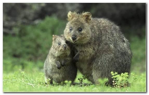 Image Tussilago Bear Grass Wildlife Australia