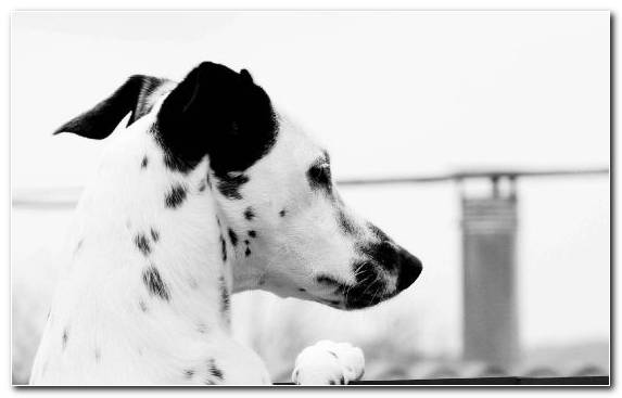 Image Ubuntu Monochrome Photography Dalmatian Galgo Espanol Black And White