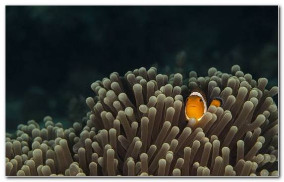 Image Underwater Reef Fish Sea Anemone Marine Biology