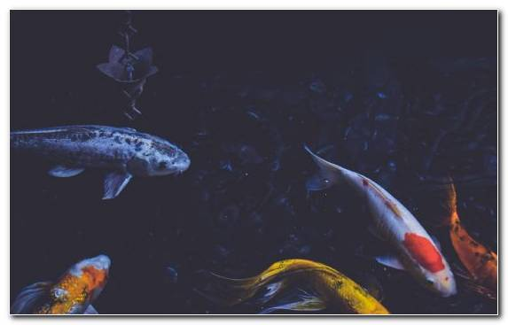 Image Underwater Water Carp Fish Pond Koi