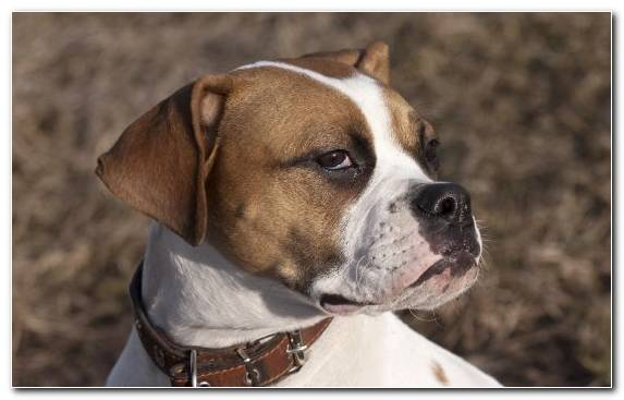 Image Valley Bulldog American Bulldog American Staffordshire Terrier Olde English Bulldogge Animal