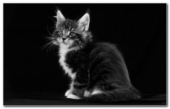 Image vertebrate whiskers moustache cat black and white