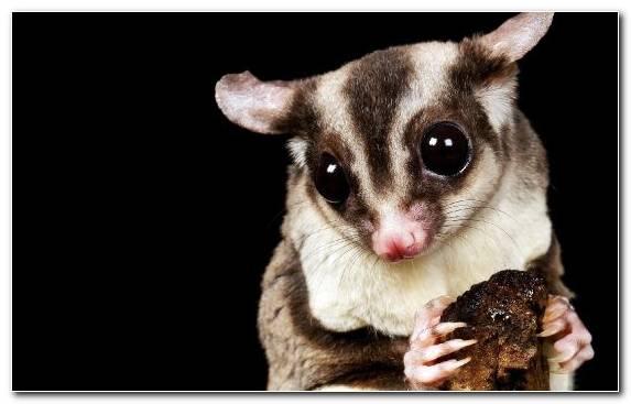 Image Viverridae Moustache Fur Nocturnality Exotic Pet