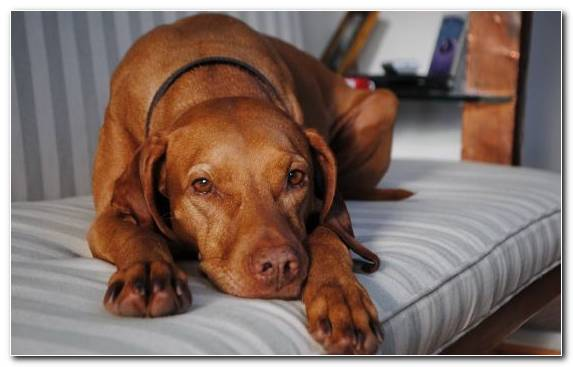 Image Vizsla Boxer Broholmer Companion Dog Cuteness