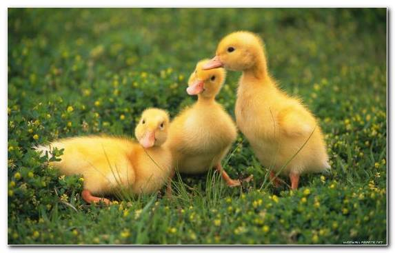 Image Water Bird Bird Poultry Farming Chicken Grass