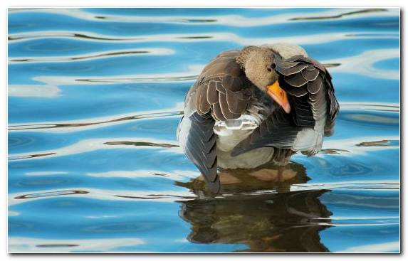 Image Water Ducks Geese And Swans Wildlife Waterfowl Beak