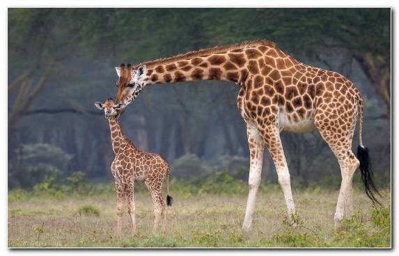 Image Water Northern Giraffe Ecosystem Information Savanna