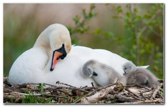 Image Waterfowl Swan Duck Seabird Tussilago