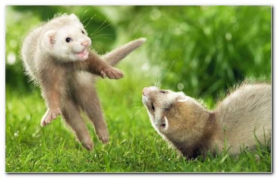 Image weasel fur mustelidae grass ferret