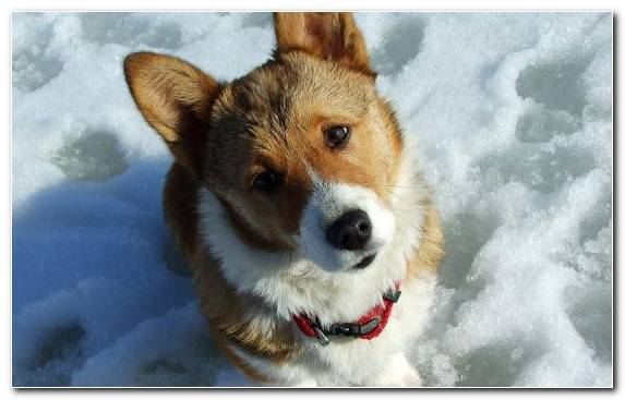 Image Welsh Corgi Cuteness Cardigan Welsh Corgi Animal Pomeranian