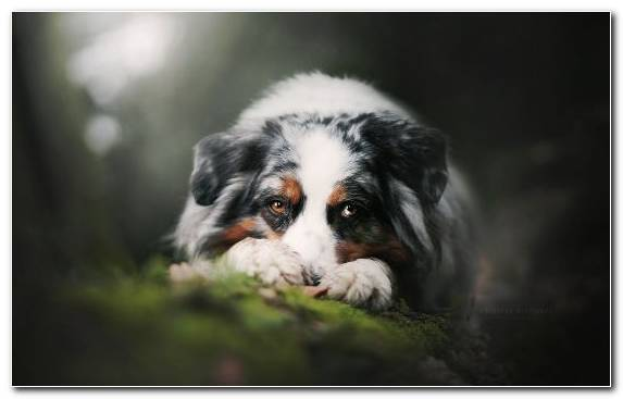 Image Whiskers Australian Shepherd Breed The German Shepherd Bernese Mountain Dog
