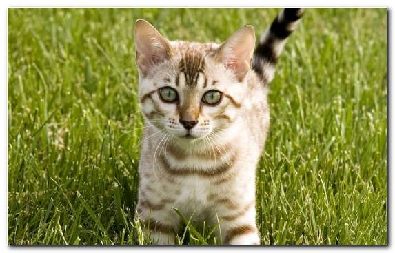 Image Whiskers Grassland Small To Medium Sized Cats European Shorthair Bengal Cat
