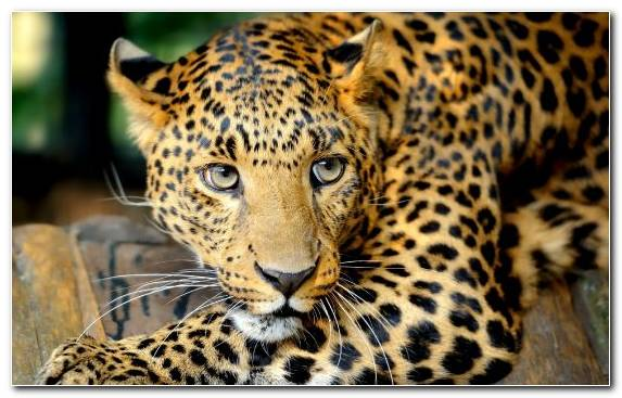 Image Whiskers Leopard Terrestrial Animal Lion Black Panther