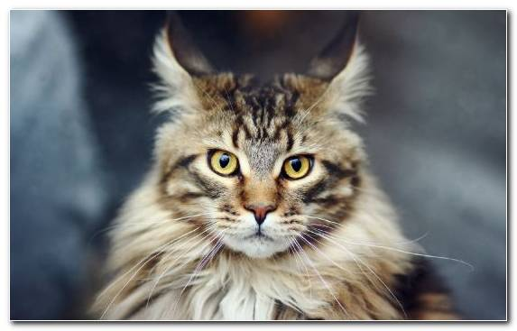 Image Whiskers Small To Medium Sized Cats Dogcat Relationship Raccoon Cat Breed