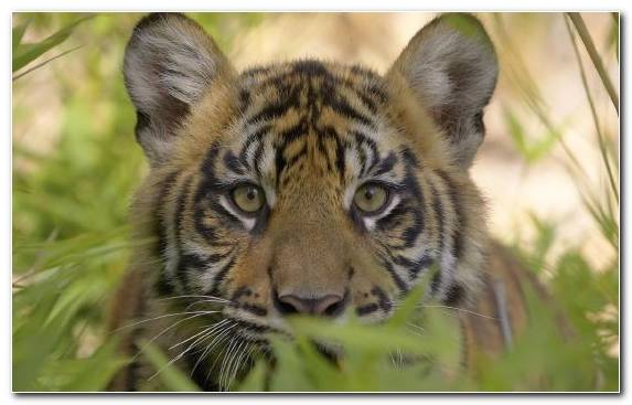 Image Whiskers Wildlife Tiger Hunting Moustache Endangered Species