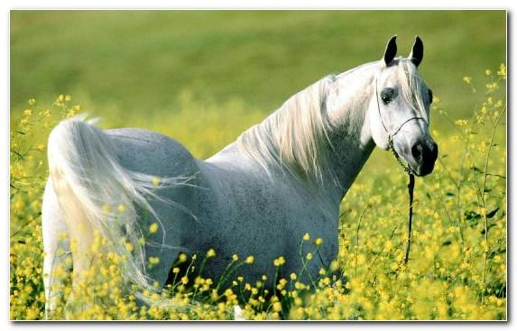 Image White Horse Racing Horses Meadow Arabian Horse