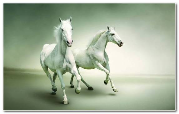 Image White Mustang Horse Horses Horse Friesian Horse