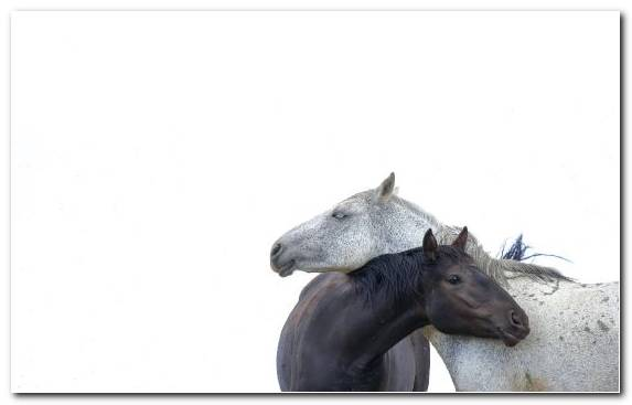 Image White Mustang Mustang Horse Snout The Siberian Husky