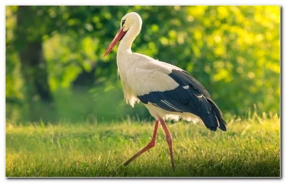 Image White Stork Ciconiiformes Beak Crane Like Bird Bird