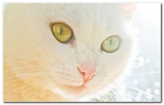 Image White Turkish Angora Animal Fauna Cat