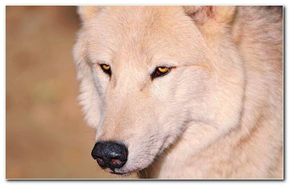 Image white wolf fauna eyes nose white