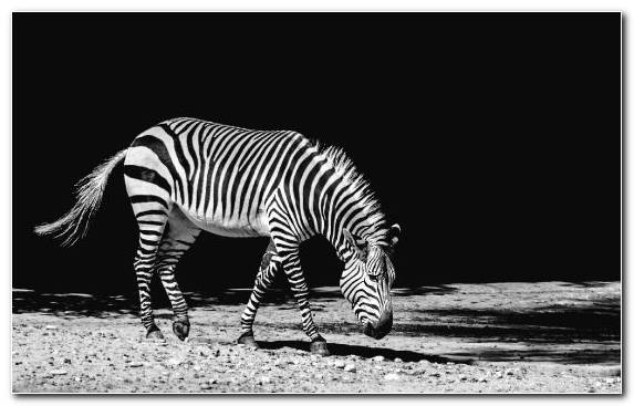 Image White Zebra Black Beatport Wildlife