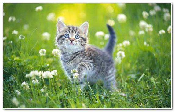 Image Wildcat Grass Flower Whiskers American Shorthair