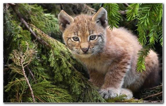 Image Wildcat Kitten Wilderness Fauna Small To Medium Sized Cats