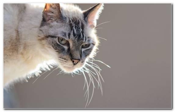 Image wildcat scottish fold fur Malayan cat british shorthair