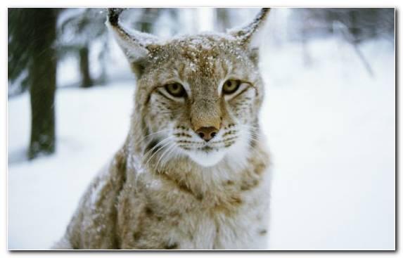 Image Wildcat Tiger Canada Lynx Mammal Bobcat
