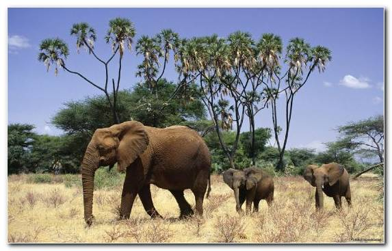 Image Wilderness African Elephant Terrestrial Animal Elephants And Mammoths Nature Reserve