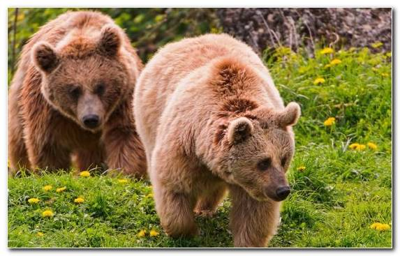 Image Wilderness Brown Bear Terrestrial Animal Bear Grizzly Bear