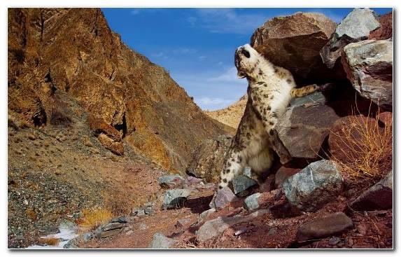 Image Wilderness Desert Snow Leopard Ecosystem Geology