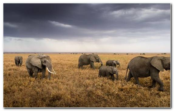 Image Wilderness Elephant Wildlife African Elephant Grassland